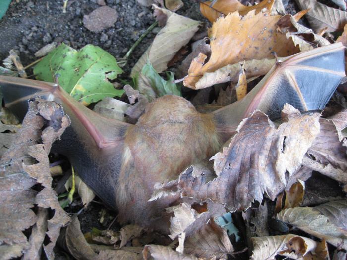 eastern red bat - vespertilio rosso orientale - Lasiurus borealis